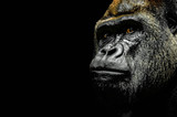 Portrait of a Gorilla - 175015374