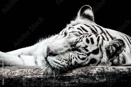 Plexiglas Panter Portrait of a white tiger isolated on black
