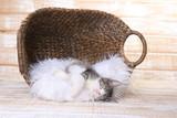 Maincoon Kitten With Big Eyes
