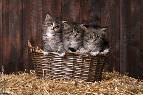 Cute Kittens With Straw in a Barn