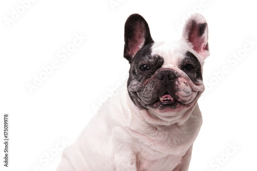 Poster Franse bulldog nine years old french puppy