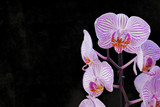 pink orchids on black background, space for typing