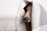 Dog under a plaid - 175032304