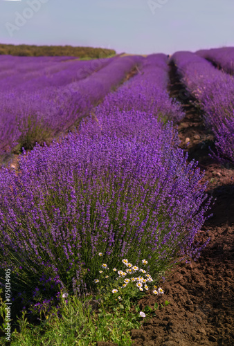 Papiers peints Prune lavender field in Bulgaria