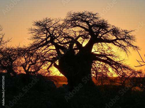 Poster Baobab Sunset baobab Kubu