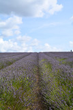 Rows of lavender flowers in field - 175049151