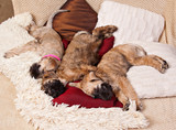 Three  Irish Soft Coated Wheaten Terrier puppies sleeping together on colorful cushions - 175054730