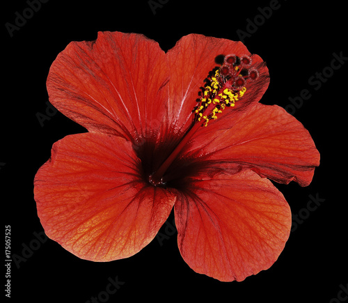 Poster Rood traf. Red flower of a Hibiscus on an isolated black background with clipping path. Closeup. No shadows. Nature.