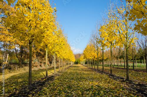 Herbstlicher Ahorn in der Baumschule