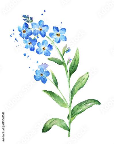 fototapeta na ścianę Forget Me Not Flower, Watercolor