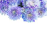fresh blue chrysanthemum flowers border isolated on white background