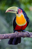 Red-breasted Toucan - 175071113