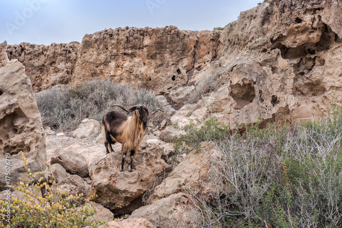 In de dag Cyprus wild goat on the rock