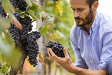 Man in the vineyards picking vine grapes - 175077549