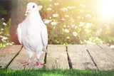 Pigeon. - 175078178