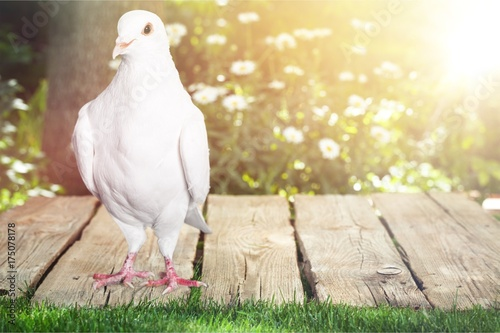 Fridge magnet Pigeon.