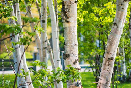 Fotobehang Berkenbos Closeup of many green birch trees grove with leaves in summer in park Quebec, Canada
