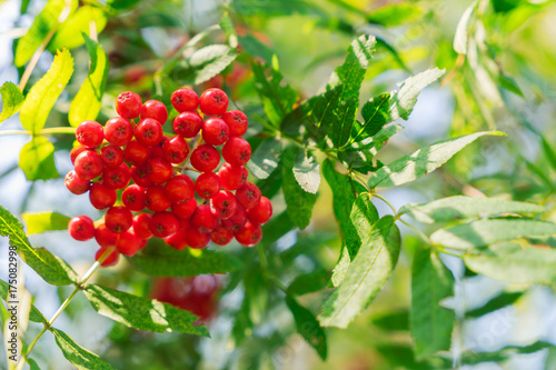 In de dag Geel Rowan red berries and fresh green leaves with blue sky, shallow focus