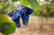 Close up of a blue grapes in the vineyard