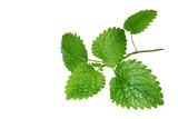 Fresh melissa leaves on white background - 175090314