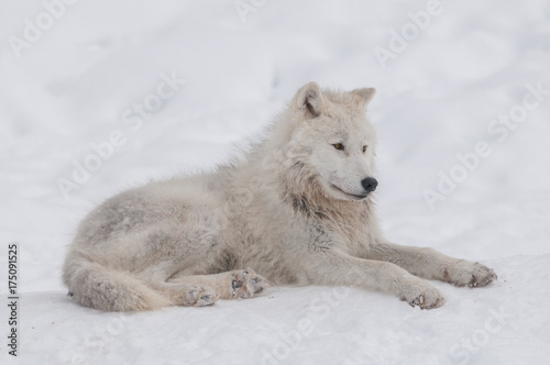 Fotobehang Wolf Arctic wolf in the snow