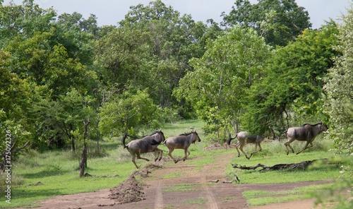 Fotobehang Zanzibar Group of wildebeests seen during a safari at the Selous Game Reserve, Tanzania (Africa)