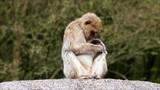 monkey sitting on a rock, Macaca sylvanus   - 175093515