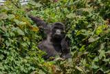 Berggorilla im Dschungel - 175099982