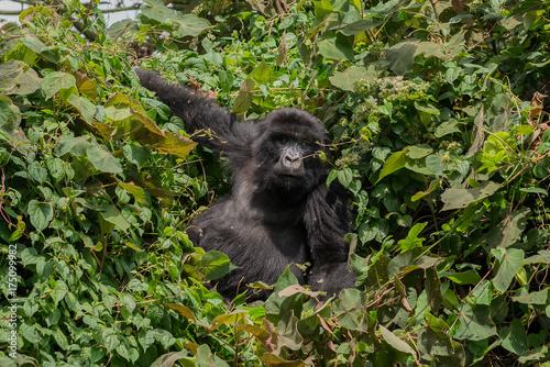Fotobehang Aap Berggorilla im Dschungel