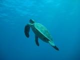 Meeresschildkröte - 175103760