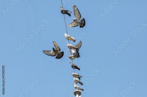 flock of pigeons Poster