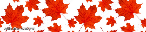header  panorama autumn background pattern a lot of red maple leaves - 175106748