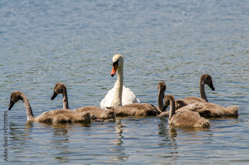 swan with cygnet on blue lake in sunshine