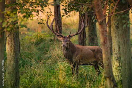Red Deer Stags (Cervus elaphus) плакат