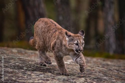 Cougar(Puma concolor) Poster