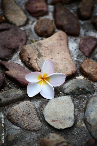 Fotobehang Plumeria White flower is lying on stones, Plumeria
