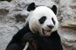 Male Giant Panda in Thailand, Eating Bamboo Shoot