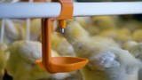 Chicken walking in poultry cage. Close-up. - 175123391