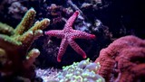 Red fromia elegance starfish - 175124382