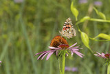 American lady butterfly on a purple cone flower in Connecticut. - 175132343