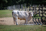 Strong hungarian grey bull in the field - 175132970