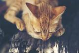 brown cat, vintage filter image
