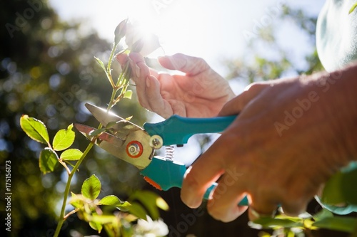 Poster Close-up of senior woman cutting flower stem with pruning shears