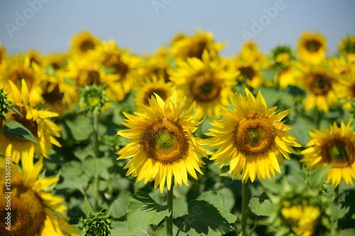 Sunflower field. Farming. Agriculture. Summer.