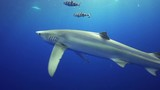 Blue shark swims with remoras, Portugal - 175162313