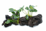 aquarium plants on small driftwood  - 175162986