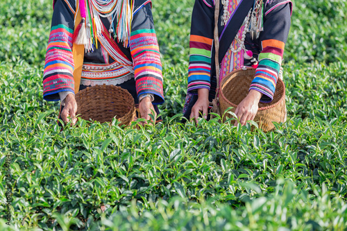 Akha Women Thailand pick tea leafs in tea plantation at Chui Fong , Chiang Rai, Thailand Poster