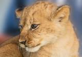 African Lion cubs - 175168538