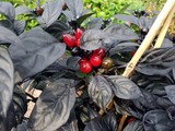 Topfchili, Chili, mild, Black Pearl F1, Kraeuter, Heilpflanze - 175177911