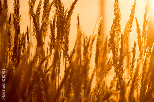 Foto op Canvas Gras dry grass on the golden sunset as background